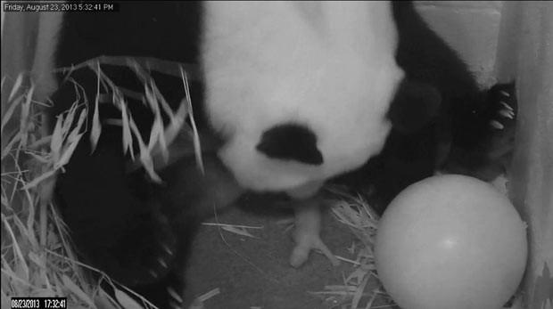 Câmera flagra momento do nascimento do filhote de panda nesta sexta-feira (23) em Washington (Foto: AP)
