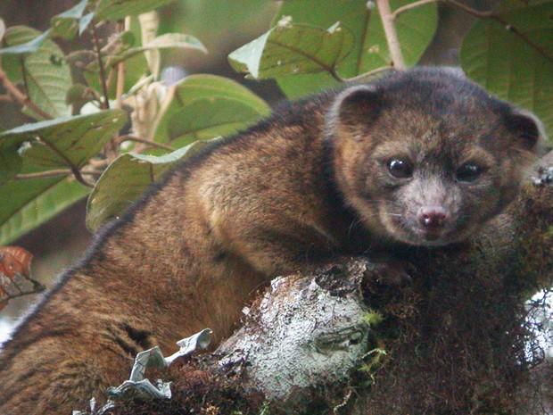 Olinguito é nova espécie de mamífero encontrada na América do Sul (Foto: Mark Gurney/Divulgação)