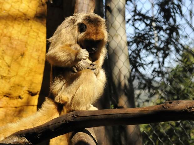 Filhote de bugio preto em zoológico de Gramado, RS (Foto: Halder Ramos/Gramadozoo, divulgação)