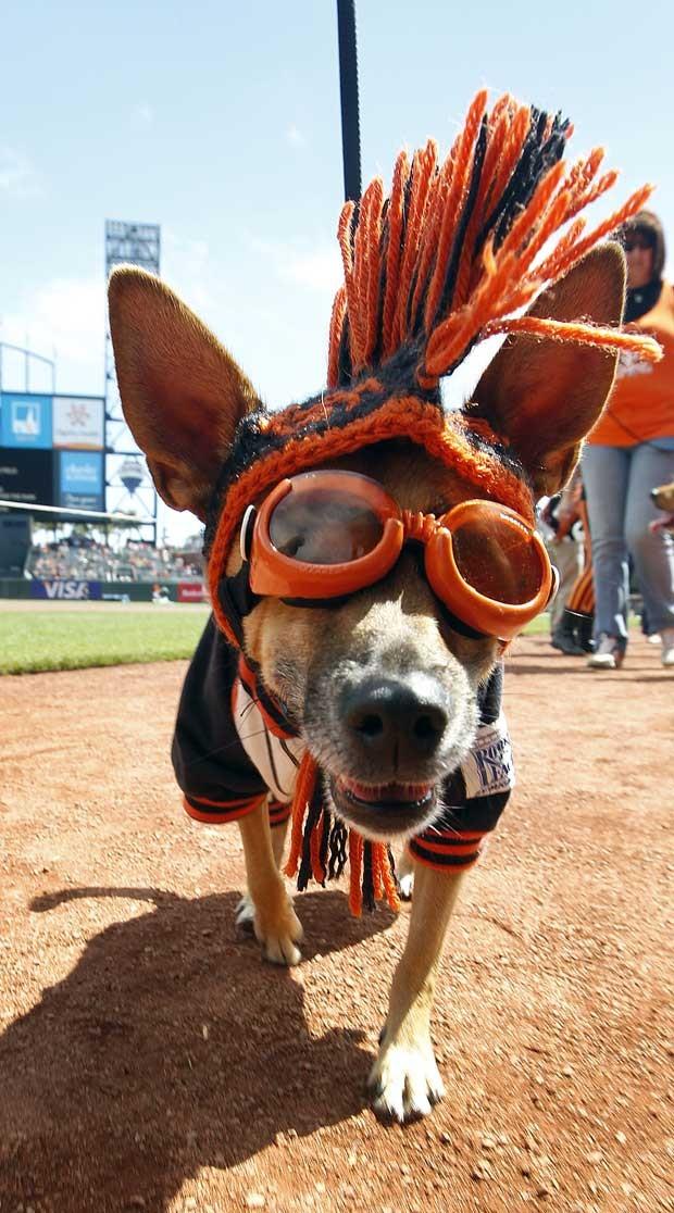 """Cadela exibe modelito """"fashion"""" e é atração de jogo de beisebol em San Franscico, nos EUA (Foto: Tony Avelar/ AP)"""