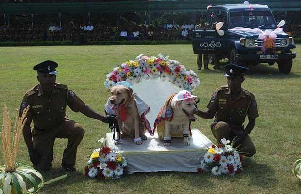 """Cães farejadores da policia do Sri Lanka """"oficializaram"""" a união na segunda-feira (26) (Foto: STR/ AFP)"""