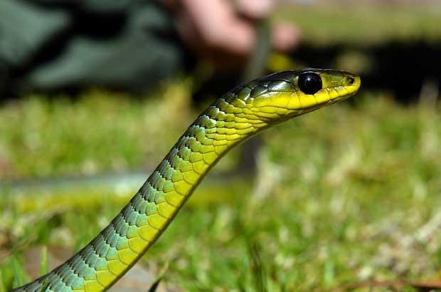 Cobra verde encontrada é uma das espécies mais venenonas no país (Foto: Saeed Khan/ AFP)