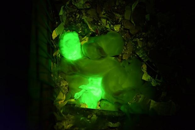 Coelhos transgênicos, com DNA de água-viva, brilham sob luz negra. (Foto: University of Istanbul e University of Hawaii/Divulgação)