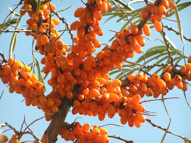 O espinheiro marítimo tem mais vitamina C do que o Kiwi e mais vitamina E que a soja (Foto: BBC)