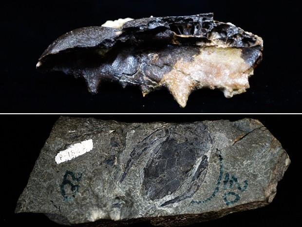 Acima, parte do bico de um pássaro gigante fossilizado descoberto na Venezuela; abaixo, o fóssil de um peixe (Foto: Juan Barreto/AFP)