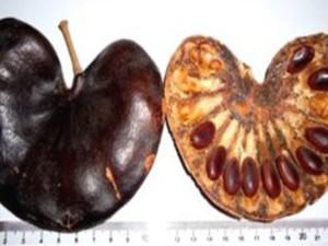 À esquerda, fruto da planta; à direita, sementes de onde a proteína é extraída. (Foto: Divulgação/Maria Luiza Vilela Oliva)