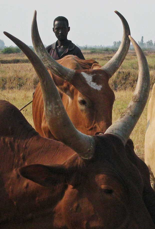 Produtiores acreditam que os animais ficam mais tranquilos e relaxados para a melhor qualidade do alimento (Foto: Esdras Ndikumana/ AFP)