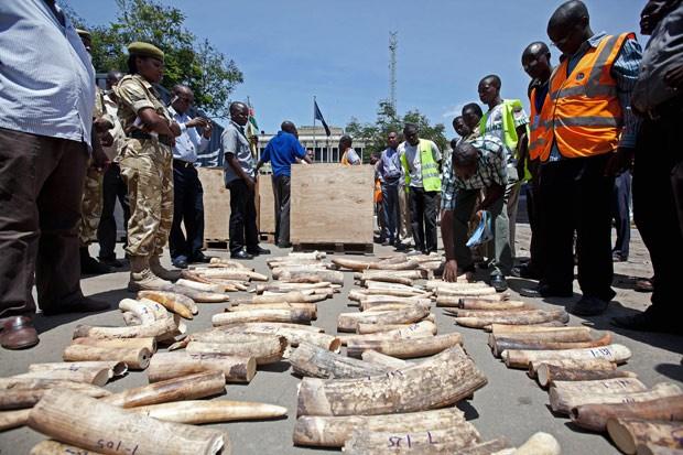 Agentes inspecionam contagem de marfim no Quênia. (Foto: AFP Photo/Ivan Lieman)