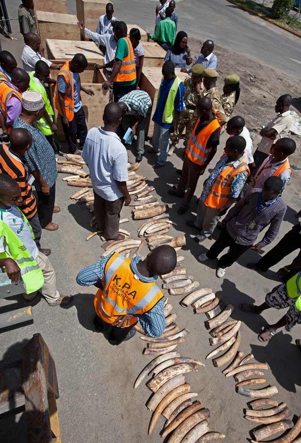 Contrabando de marfim tinha como destino o Vietnã. (Foto: AFP Photo/Ivan Lieman)