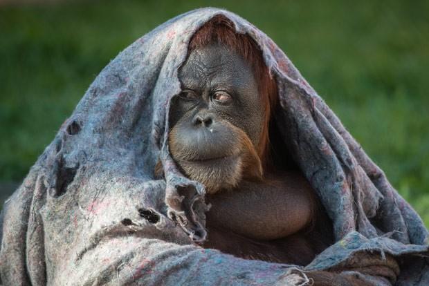 Orangotango cobre cabeça com cobertor em zoo (Foto: AFP Photo/Yasuyoshi Chiba)