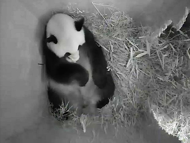 Imagem do zoológico mostra fêmea Yang Yang, que deu à luz na quarta (Foto: Schöbrunn Zoo/AFP)