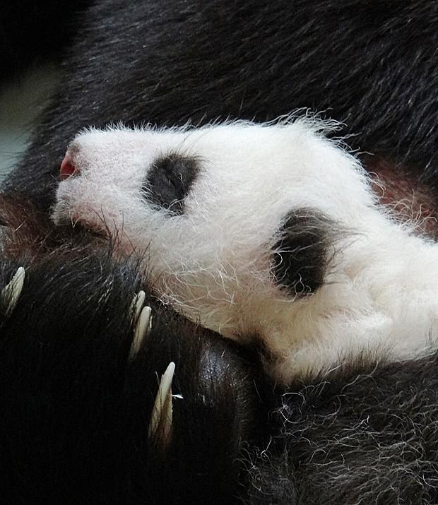 Bebê panda de 1 mês de vida abraça a mãe (Foto: Taipei City Zoo/AFP)