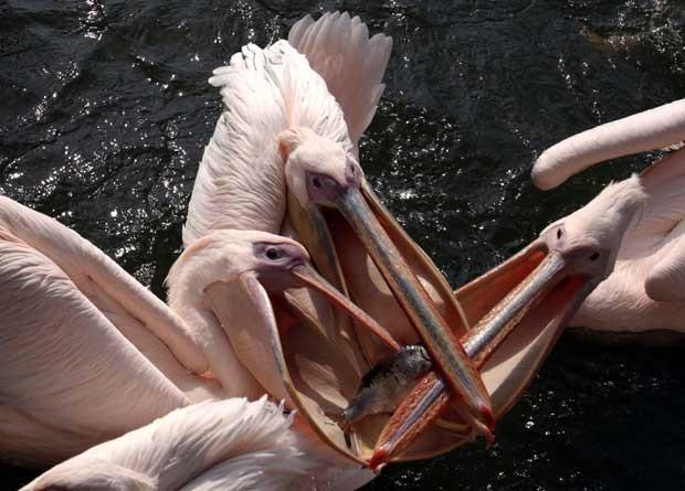 Pelicanos brigam pro único peixe na Alemanha (Foto: Bernd Wuestneck/ AP)