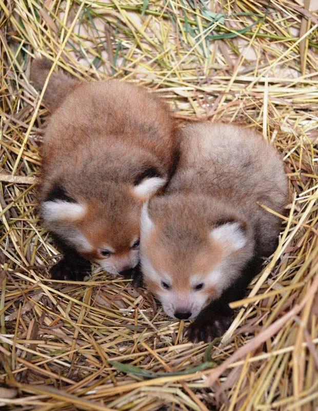 Pandas-vermelhos nasceram em junho em zoológico (Foto: AP Photo/Detroit Zoological Society)