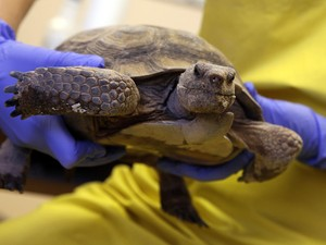 Tartaruga ameaçada é examinada por pesquisadores. (Foto: AP Photo/Isaac Brekken)