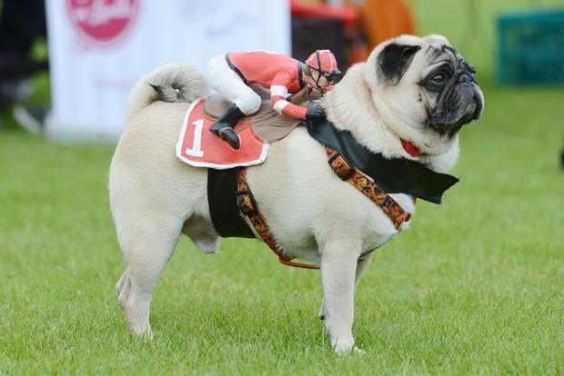 Pug eva jóquei de brinquedo montado durante corrida canina (Foto: Franziska Kraufmann/DPA/AFP)