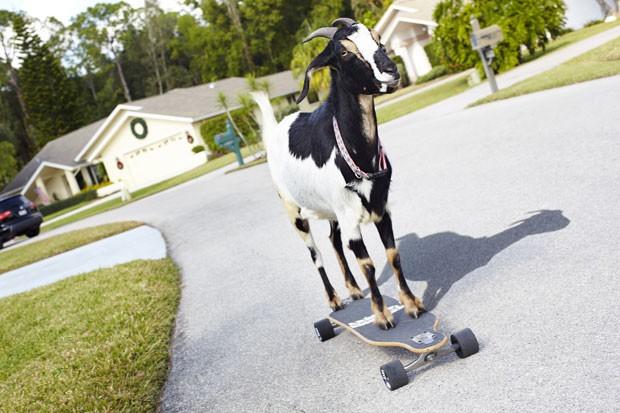 'Happie' entrou para o Guinness como a cabra que conseguiu andar a maior distância em skate (Foto: Guinness World Records/AFP)