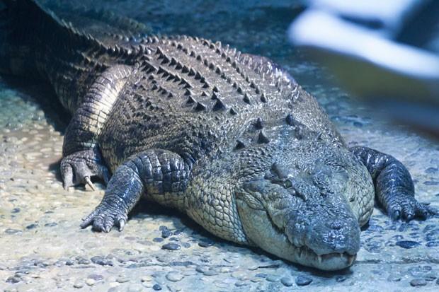 Crocodilo de 50 anos e a nova atração de um aquário em Melbourne (Foto: SEA LIFE Melbourne Aquarium/AFP)