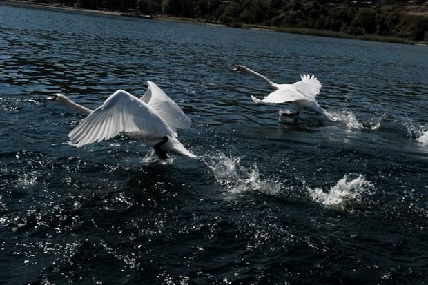 Um casal de cisnes parecia correr sobre a água ao ser fotografado no último domingo (8) no lago Ohrid, perto da cidade de Struga, na Macedônia (Foto: Armend Nimani/AFP)