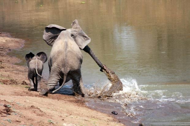 Crocodilo mordeu tromba de elefanta no no Parque Nacional de South Luangwa, em Zâmbia (Foto: Martin Nyfeler/Barcroft Media/Getty Images)