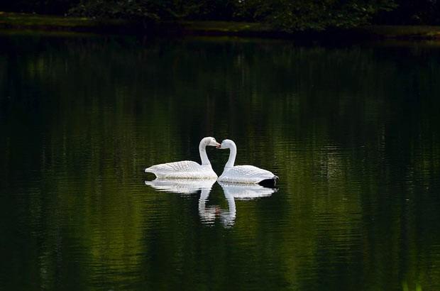 Cisnes formam 'coração' durante 'beijo' em lago nos EUA (Foto: AP/The Herald-Sun, Bernard Thomas)