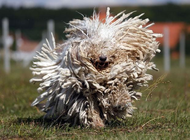 Cão Komondor parecia uma 'bola de pelo' ao ser fotografado correndo (Foto: Laszlo Balogh/Reuters)