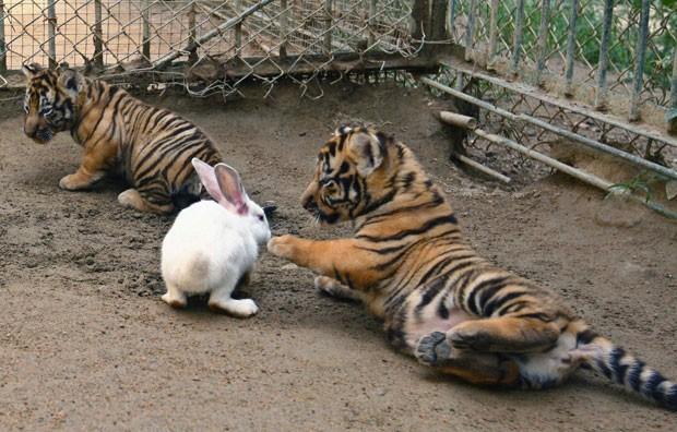 Filhotes de tigres parecem brincar com coelho em parque na China (Foto: Stringer/Reuters)
