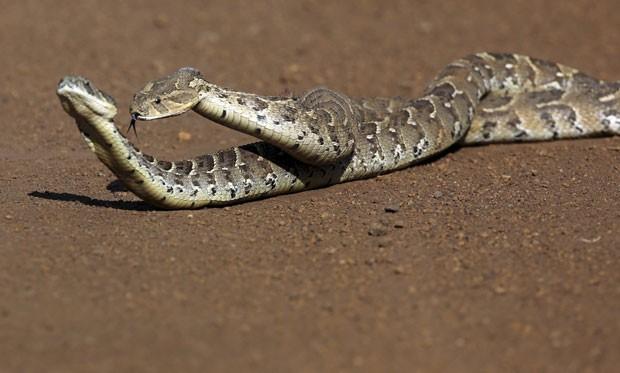A biúta (Bitis arietans) é uma das cobras mais mortais na África (Foto: Goran Tomasevic/Reuters)