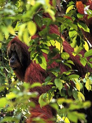 Orangotango macho Arno, um dos 15 estudados (Foto: Perry van Duijnhoven/AP)