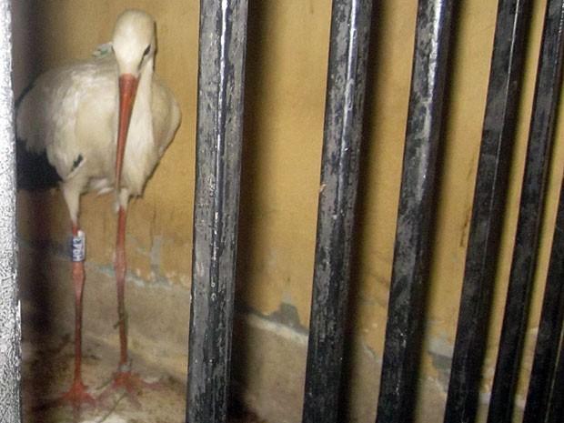 Cegonha foi detida pela polícia no Egito por suspeita de espionagem (Foto: AP)