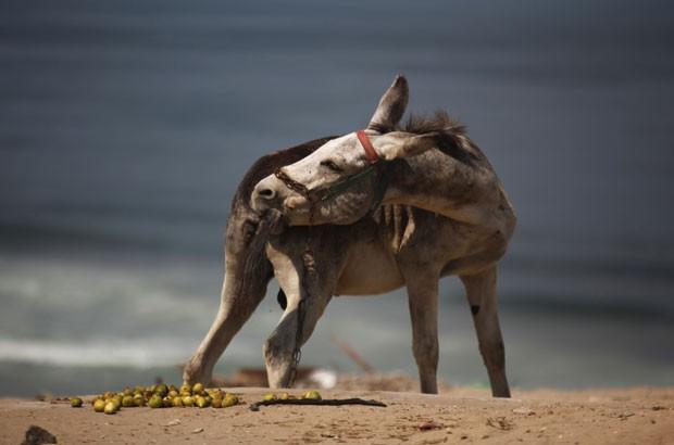 Um burro foi flagrado nesta terça-feira (3) mordendo o próprio rabo em uma praia no mar Mediterrâneo, na cidade palestina de Gaza (Foto: Hatem Moussa/AP)