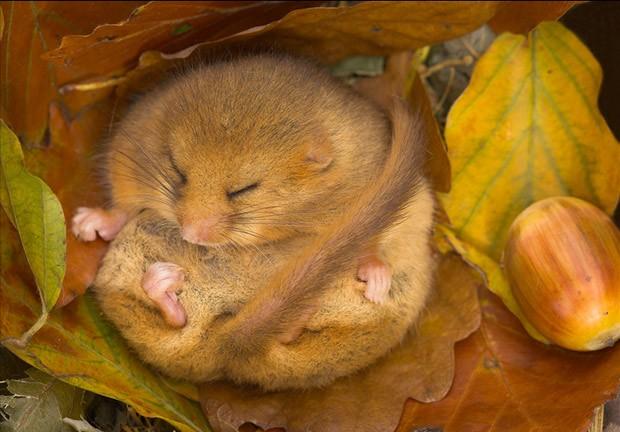 """Essa imagem registrada durante o outono em Devon, no sul da Inglaterra, foi altamente elogiada na categoria bosques selvagens. Danny Green, autor da foto, falou sobre a complexidade de se fotografar mamíferos em extinção. """"Este arganaz está hibernando e por isso eu usei um suporte especial para câmera para não assustá-lo"""". (Foto: Danny Green/BBC)"""