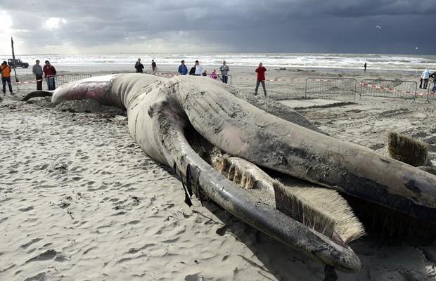 Carcaça de 6 metros de comprimento atraiu os olhares da população. (Foto: AFP Photo/ANP Lex Van Lieshout)