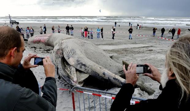 Animal já estava morto quando encalhou na praia holandesa. (Foto: AFP Photo/ANP Lex Van Lieshout)