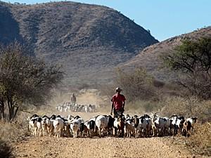 Funcionário Theo Awochab anda com rebanho de cabras na fazenda de Retha Joubert (Foto: Jennifer Bruce/AFP)