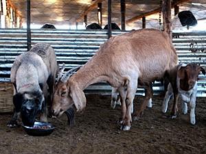 Nussie come com cabras (Foto: Jennifer Bruce/AFP)