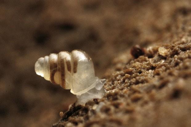 Exemplar de caracol da espécie Zospeum tholussum, encontrado em cavernas subterrâneas da Croácia (Foto: J. Bedek/Creative Commons)