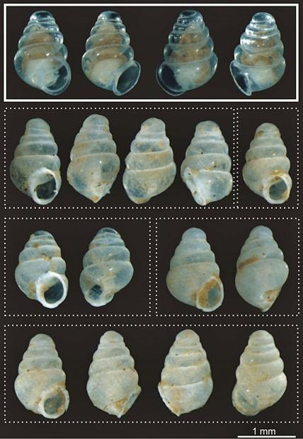Na imagem, é possível ver vários ângulos da concha desta nova espécie de caracol (Foto: J. Bedek/Creative Commons)