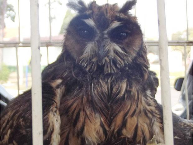 Coruja foi encontrada com fratura em uma das asas em Jundiaí (Foto: Reprodução/TV TEM)