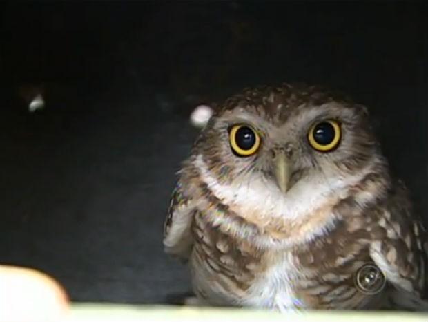 Coruja foi capturada por bombeiros dentro de loja em Sorocaba; ave foi solta na natureza (Foto: Reprodução/TV TEM)