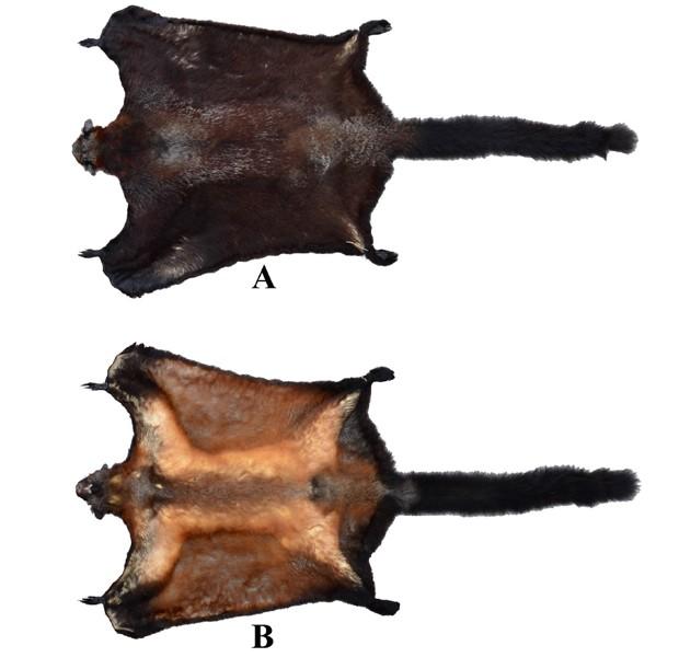 Pele do esquilo-voador 'Biswamoyopterus laoensis', identificado por cientistas (Foto: Divulgação/Zootaxa/Daosavanh Sanamxay)