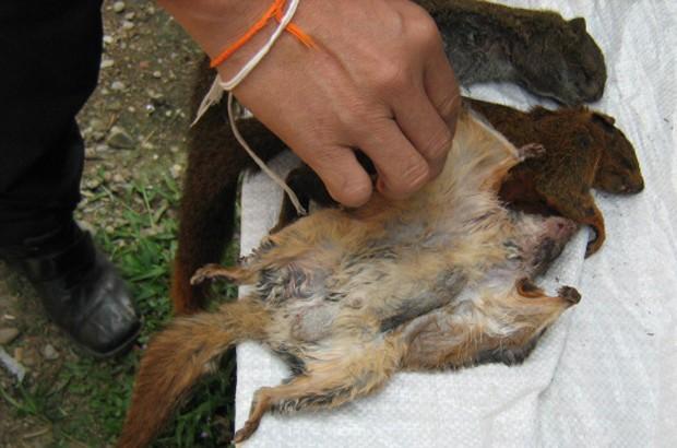 Corpos de esquilos voadores comprados por pesquisadores em feiras no Laos (Foto: Divulgação/Daosavanh Sanamxay)