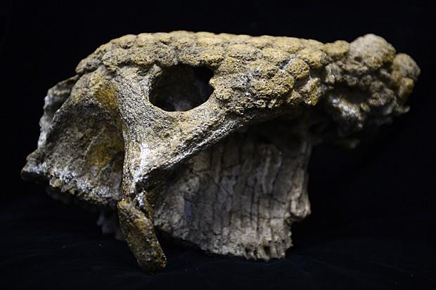 Crânio de gliptodonte encontrado em Caracas, na Venezuela (Foto: Juan Barreto/AFP)