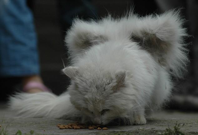Gato alado aparece na China. Será verdade? (foto: Reprodução/Facebook)