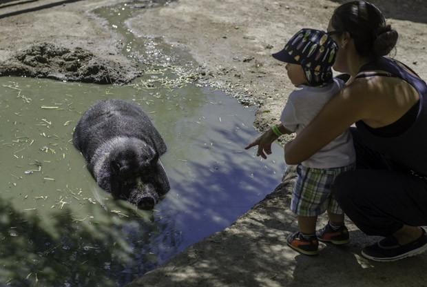 Visitantes do Gentle Barn observam porco resgatado enquanto ele toma banho de lama. (Foto: AFP Photo/Joe Klamar)