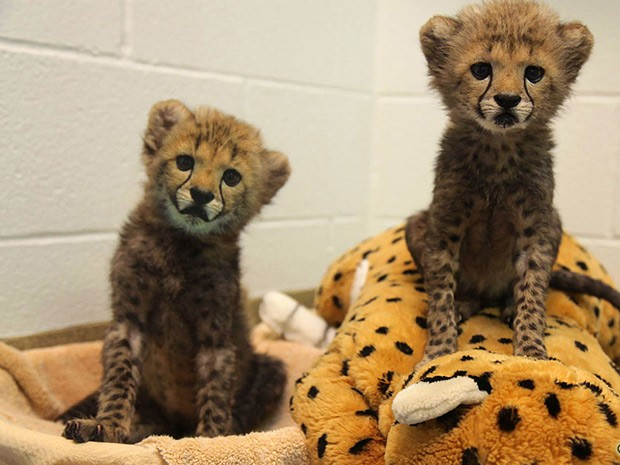 Os guepardos Winspear e Kamau, que nasceram em julho, serão criados com labrador Amani. (Foto: AP Photo/Dallas Zoological Society)