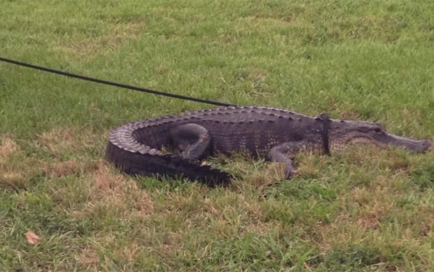 Jacaré de 3,6 m invadiu campo de futebol e precisou ser capturado na Flórida (Foto: Divulgação/Boca Raton Police Services Department)