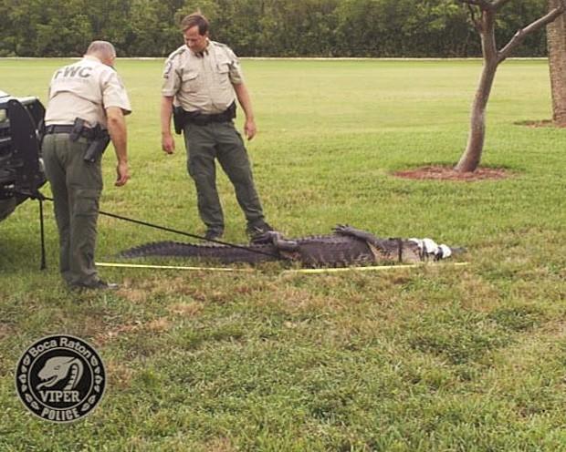 Réptil foi levado pelos agentes para ser devolvido à natureza (Foto: Divulgação/Boca Raton Police Services Department)