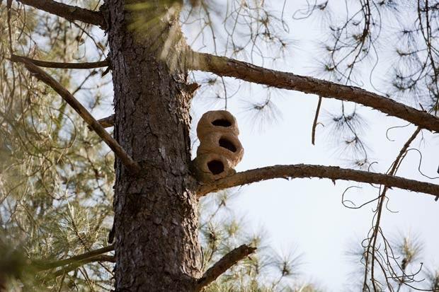 Triplo ninho de joão-de-barro foi construído por aves em chácara perto de Cotia (SP) (Foto: Marcelo Costa/Divulgação)