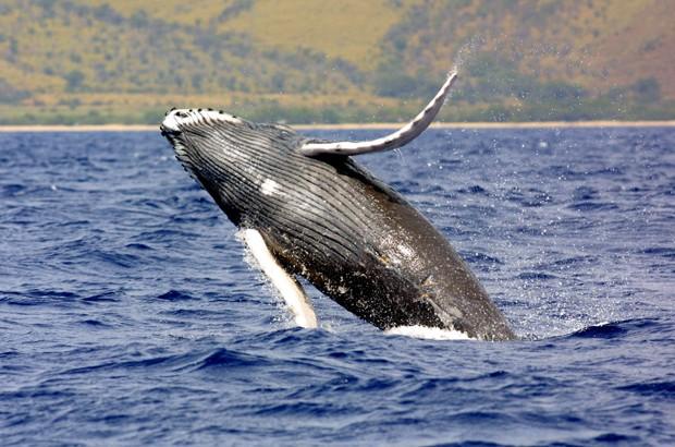 Baleia jubarte nas águas do Havaí; NOAA abriu pedido de revisão sobre situação da espécie (Foto: NOAA/AP)